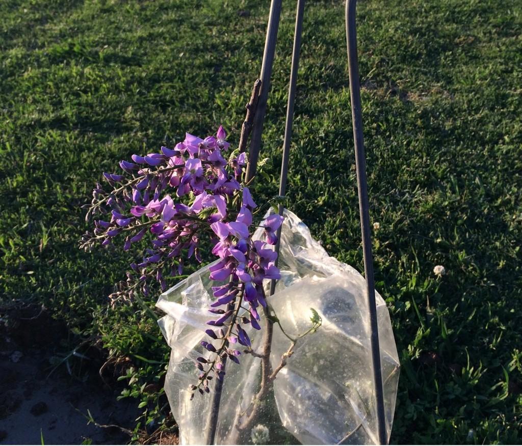 wisteria 2 - Copy
